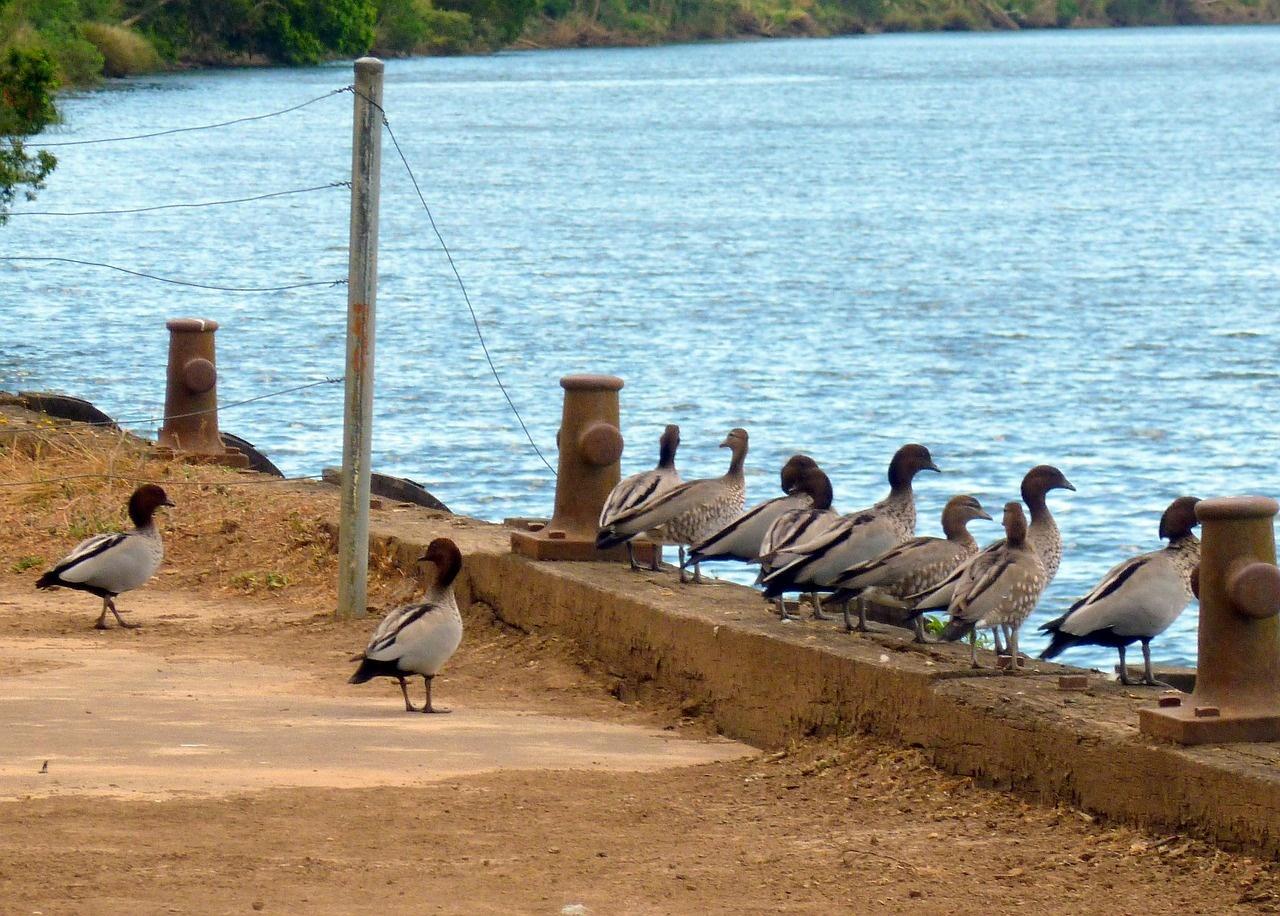 ducks-in-a-row-236325_1280